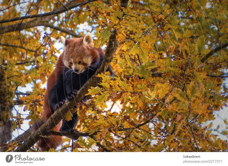 Red panda on tree shows tongue Red Panda Tree Climbing Animal Mammal Nature Cute Dangerous Zoo Zurich Canton Zürich Autumn Leaf Branch white snout Pelt Eyes Sky
