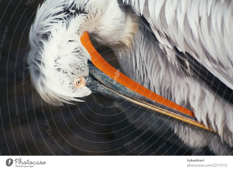 Pelikan cleans plumage, close-up Pelican cleans up Feather Beak Close-up Bird Animal portrait Water Nature waterfowl Pond Body of water Eyes Loneliness