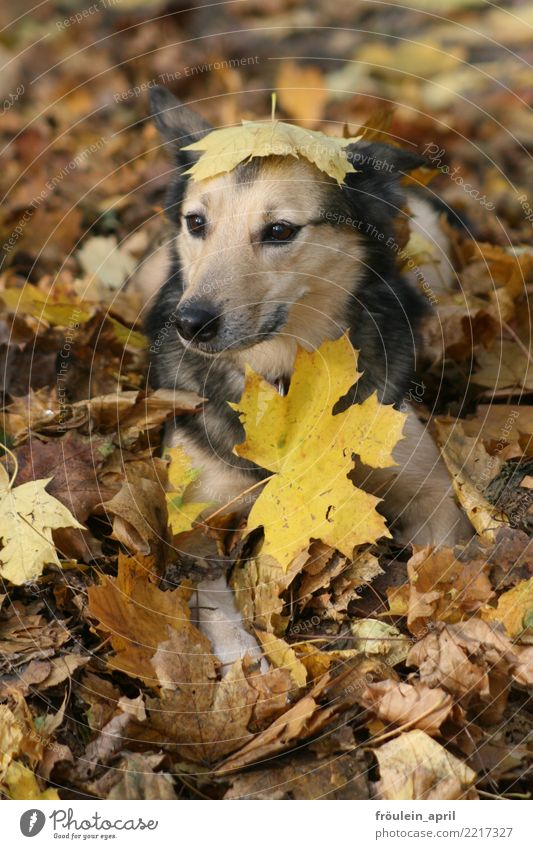Dog in foliage Nature Autumn Leaf Maple leaf Park Forest Deserted Animal Pet Animal face Pelt 1 Cuddly Funny Natural Cute Soft Brown Yellow Gray Black