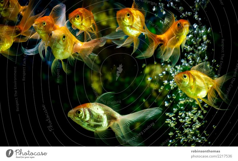 Gold fishes swimming in aquarium with water bubbles Nature Beautiful Green Water Animal Background picture Movement Orange Fish Concepts &  Topics