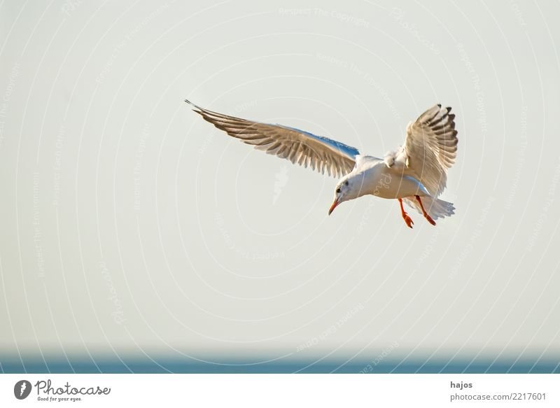Black-headed gull flying deep over the beach Beach Environment Animal Air Water Sky Cloudless sky Horizon Baltic Sea Wild animal Bird Flying Gray White