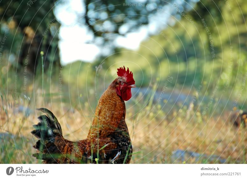 free range Environment Nature Plant Animal Farm animal Bird Wing 1 Free Natural Wild Brown Green Red agriculture Beak Rooster colorful colourful country