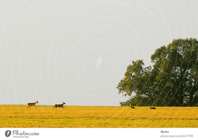 The couriers of the deer Environment Nature Landscape Animal Meadow Field Wild animal Roe deer 4 Group of animals Walking Lie Free Natural Together Horizon