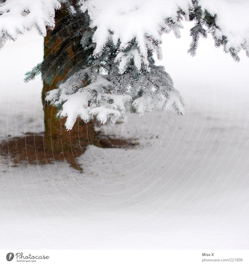 A Tännschn plies Winter Ice Frost Snow Tree Freeze White Fir tree Twig Tree trunk Winter mood Colour photo Exterior shot Copy Space right Copy Space bottom 1