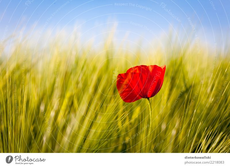 Red in green Environment Nature Landscape Plant Agricultural crop Field Beautiful Emotions Joy Happy Contentment Poppy Poppy blossom Wheatfield Oats ear