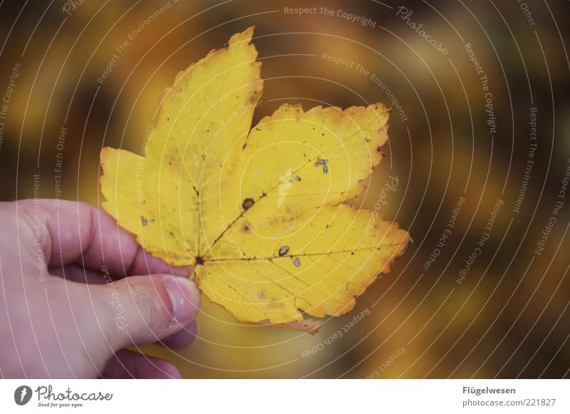 Nature Hand Old Leaf Colour Autumn Environment Fingers Climate Natural To hold on November Rachis Autumn leaves October Autumnal