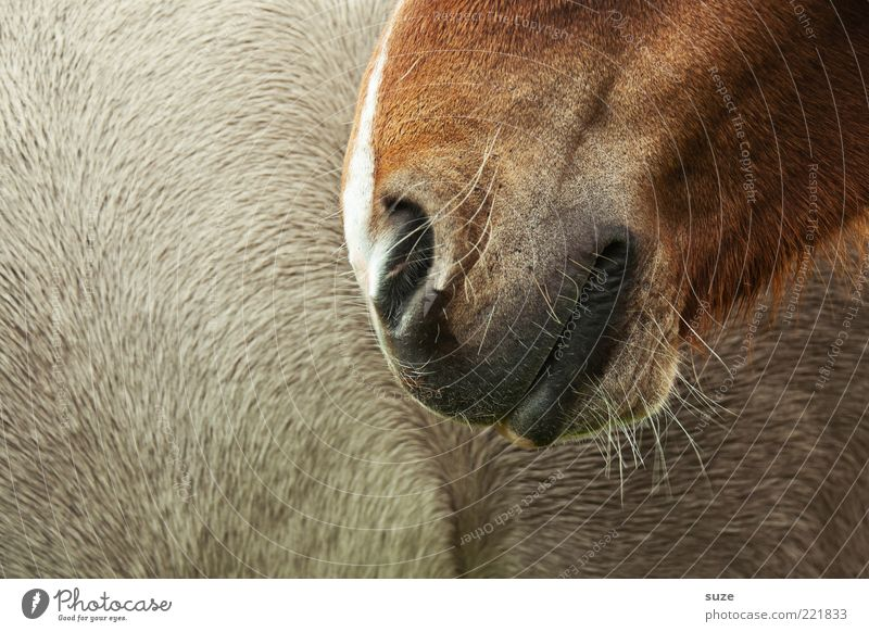 smile Animal Pelt Horse Smiling Near Beautiful Brown Love of animals Pony Nose Caresses Nostrils Trust Smooth Odor Nasal hair Colour photo Subdued colour