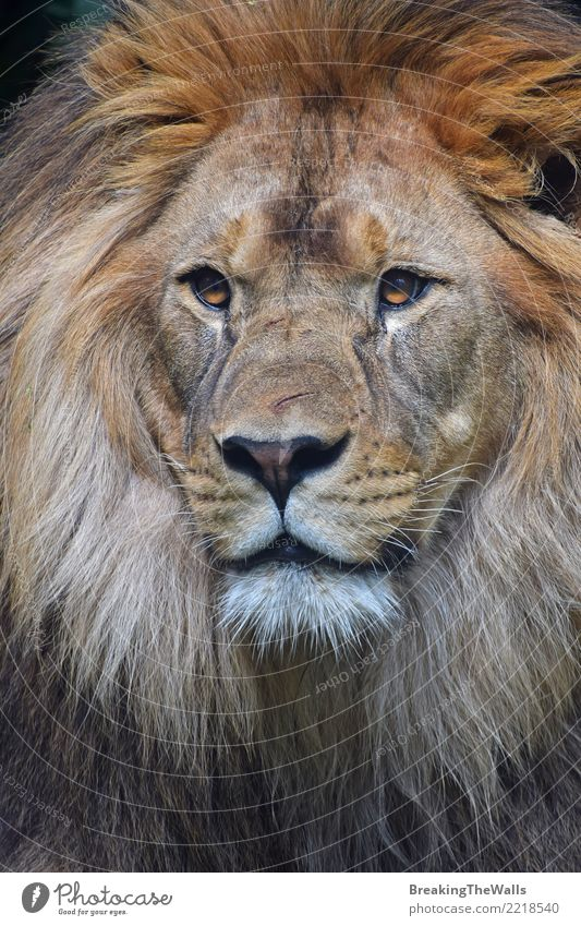 Close up portrait of male lion looking at camera Animal Wild animal Animal face Zoo Lion Cat Big cat Wild cat Mammal 1 Pride Beautiful Cute wildlife Nature Eyes