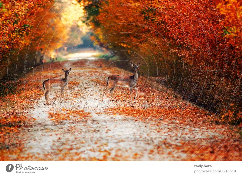 fallow deer does on rural road in autumn Beautiful Hunting Woman Adults Nature Landscape Animal Autumn Tree Park Forest Street Lanes & trails Fur coat Faded