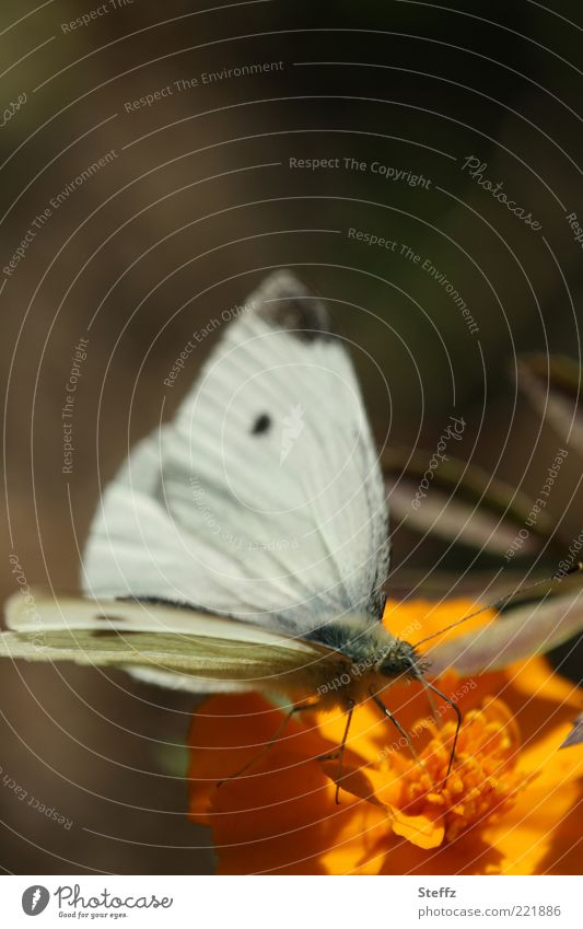 Large cabbage white butterfly in the warm October sun Nature Summer Autumn Plant Flower Blossom Animal Butterfly Wing butterflies Pieridae Feeler Beautiful