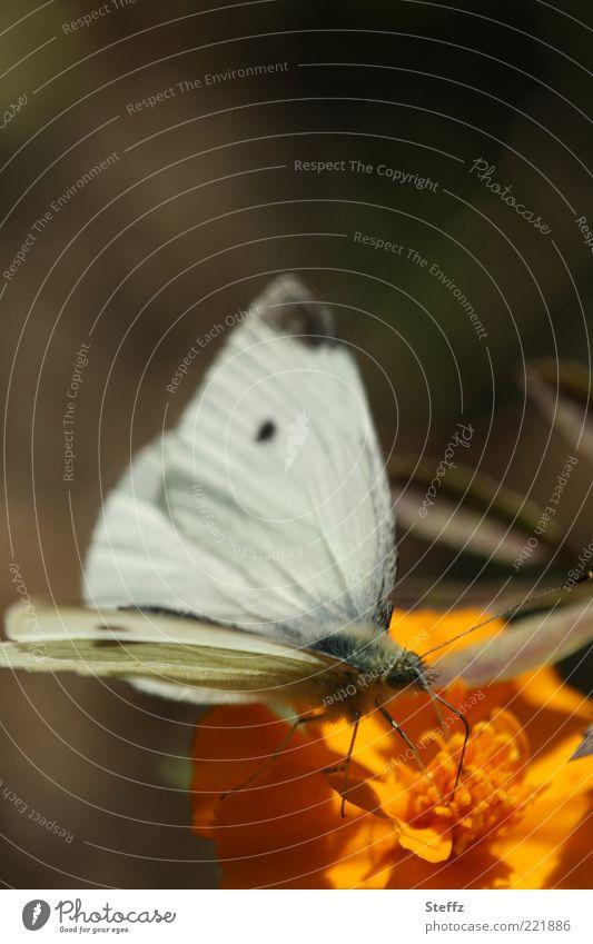 Nature Plant White Summer Flower Animal Blossom Autumn Brown Orange Wing Butterfly Ease Feeler October Foraging