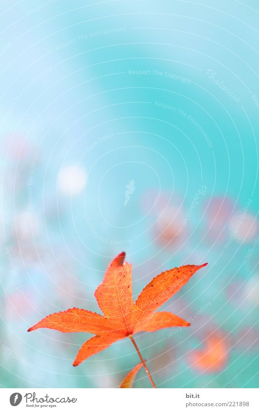 Sky Nature Plant Blue Beautiful Red Leaf Autumn Orange Glittering Growth Fantastic Climate Change Kitsch Turquoise