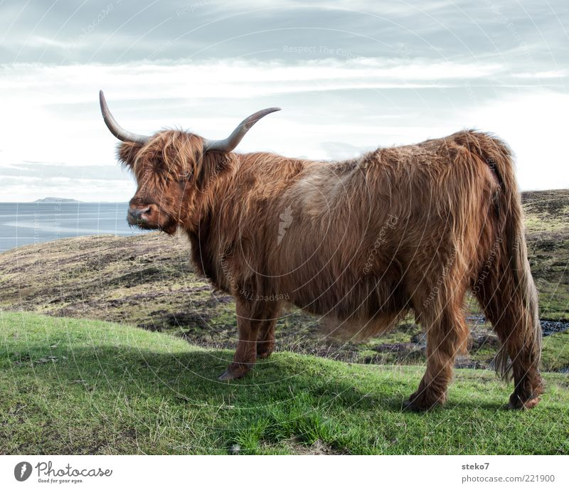 lowrider Meadow Coast Farm animal Cow 1 Animal Observe Scotland Posture Antlers Brown Pelt Bushy Highland cattle Colour photo Exterior shot Deserted