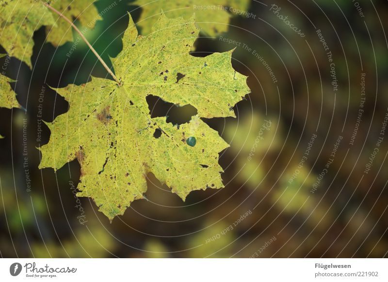 photocase_autumn_image.jpg Environment Nature Autumn Climate Climate change Plant Leaf Old Hideous Autumn leaves Autumnal Autumnal colours Early fall