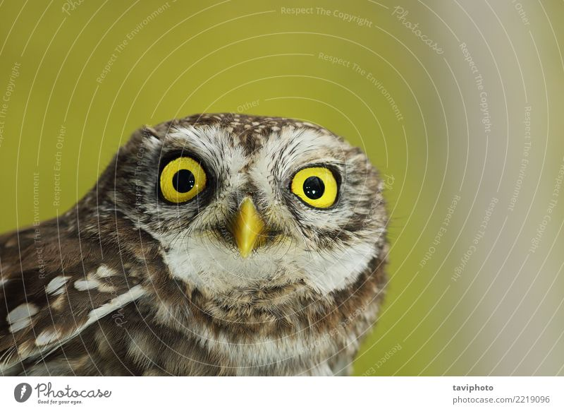 closeup of beautiful Athene noctua Beautiful Winter Nature Landscape Animal Forest Bird Small Natural Cute Wild Brown Yellow White Wisdom Owl athene wildlife