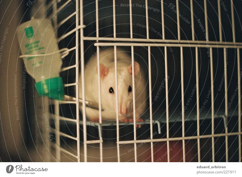 Water Loneliness Animal Pelt Captured Pet Grating Cage Rat Rodent
