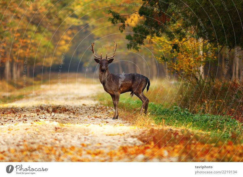 majestic fallow deer stag on forest road Nature Man Beautiful Green Landscape Animal Leaf Forest Dark Adults Street Yellow Autumn Lanes & trails Natural Brown