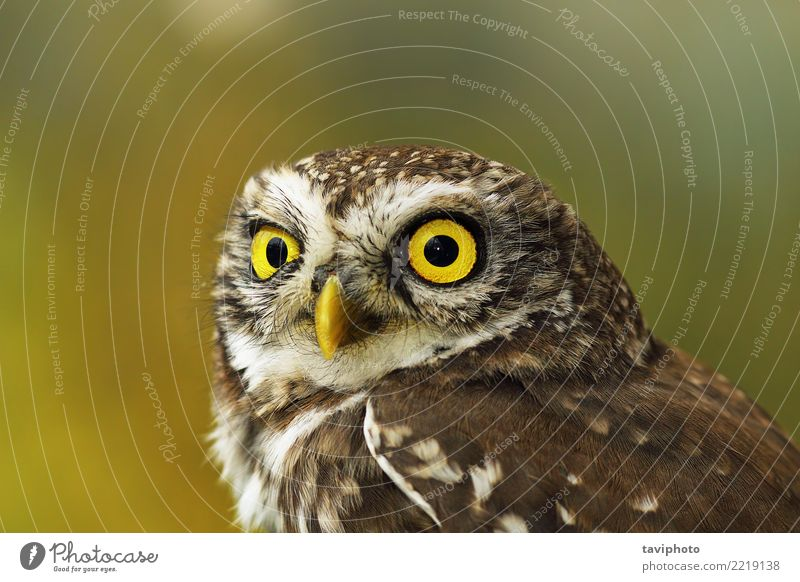 portrait of cute little owl with bokeh Beautiful Face Nature Animal Bird Small Funny Natural Cute Wild Brown Yellow Green Colour Owl athene noctua wildlife