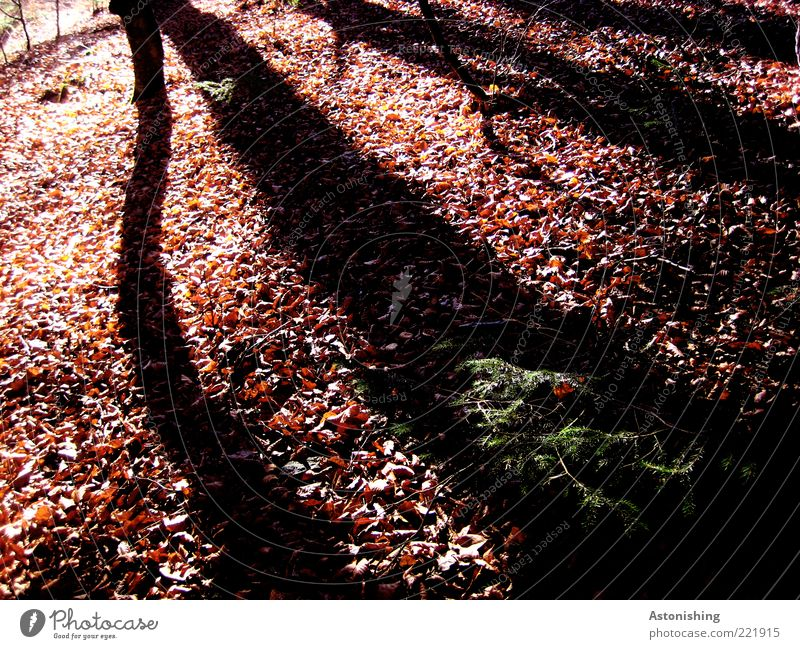 shadow Environment Nature Landscape Plant Autumn Beautiful weather Tree Wild plant Forest Hill Long Brown Black Wood Branch Leaf Shadow Line Twig Deciduous tree