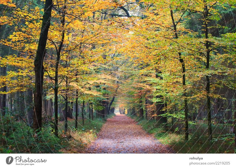 walking path in autumn golden forest Nature Green Landscape Tree Leaf Forest Street Autumn Lanes & trails Hiking Beautiful weather Seasons Beauty Photography