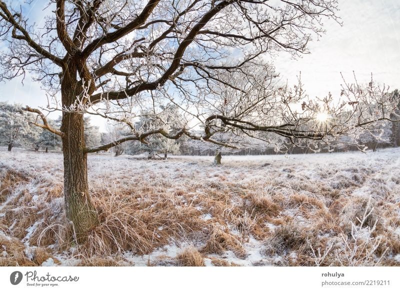 sunlight through oak tree branches in winter day Sun Winter Snow Nature Landscape Sky Sunrise Sunset Beautiful weather Ice Frost Tree Meadow Forest Bright White