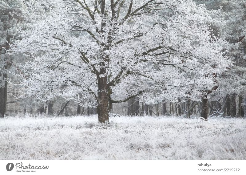 frost on oak tree in winter Vacation & Travel Winter Snow Nature Landscape Plant Weather Beautiful weather Ice Frost Tree Grass Forest Bright White rime cold
