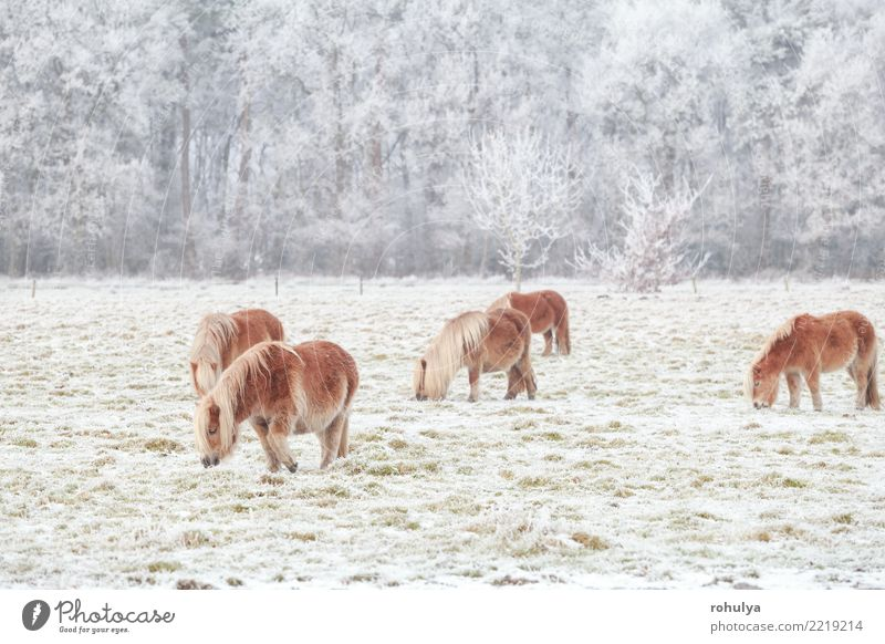 few pony grazing on snowy pasture in winter Winter Snow Nature Landscape Animal Weather Ice Frost Meadow Field Farm animal Horse To feed Small Cute Pony cold