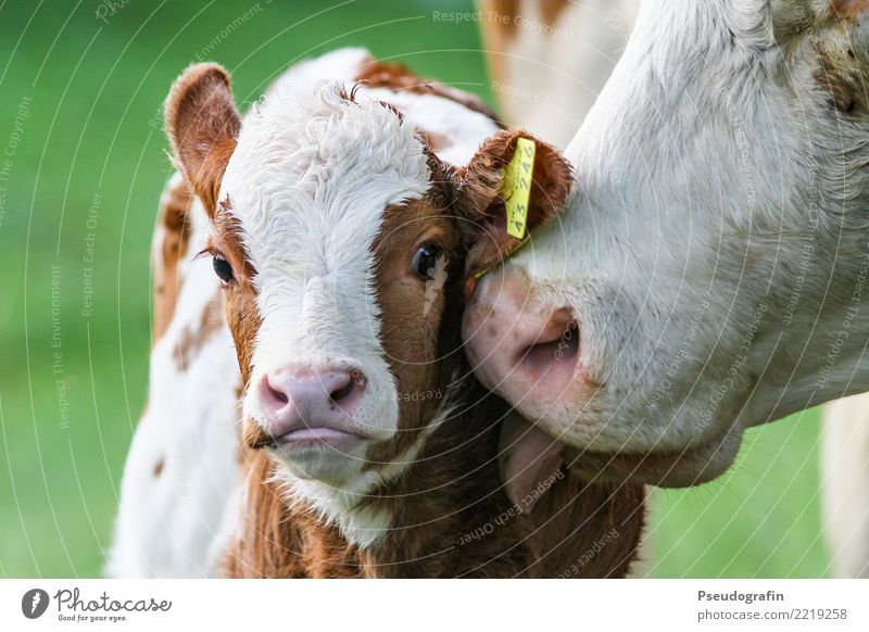 Calf with cow Farm animal Cow 2 Animal Baby animal Animal family Touch Kissing Love Friendliness Happiness Happy Cuddly Curiosity Cute Contentment Trust Safety