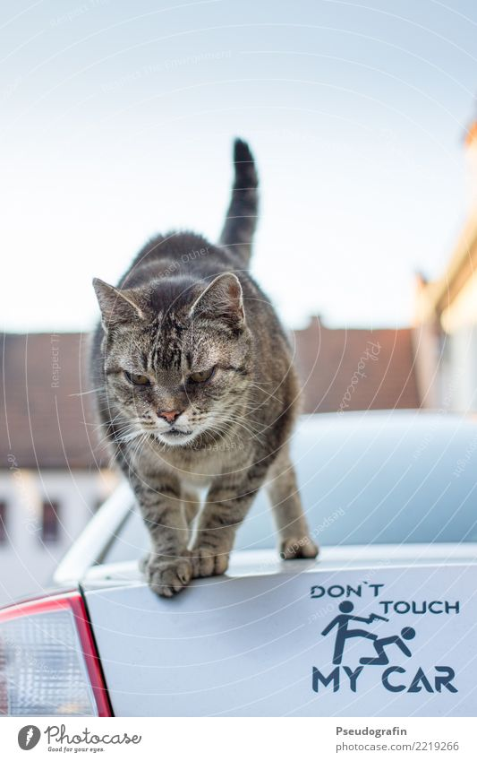 Don't touch my car! Animal Pet Cat 1 Observe Stand Brash Funny Curiosity Rebellious Cool (slang) Might Watchfulness Interest Defiant Aggression Communicate Joy