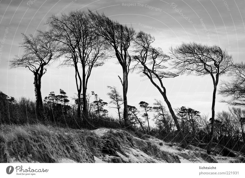 Nature Old Tree Plant Calm Cold Sand Landscape Air Coast Wind Weather Environment Climate Black & white photo Beach dune