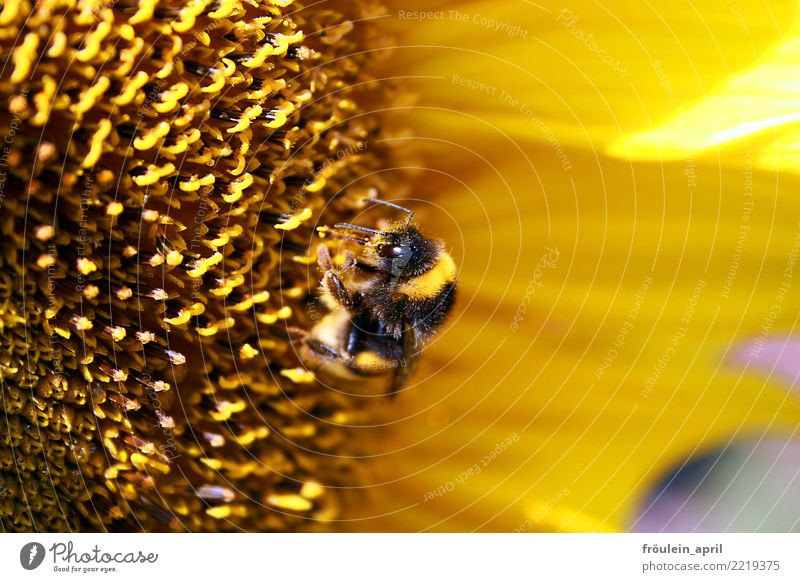 hardworking bumblebee Nature Plant Animal Summer Flower Blossom Sunflower Farm animal Bumble bee 1 Blossoming To feed Exceptional Small Sustainability Natural