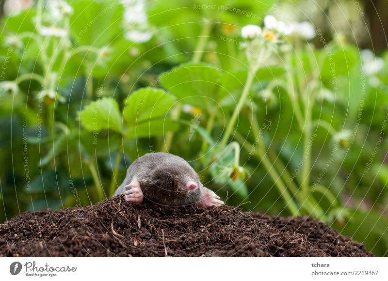 Mole in the garden Face House (Residential Structure) Garden Nature Animal Earth Grass Fur coat Small Natural Cute Wild Soft Brown Green Black Dangerous mole