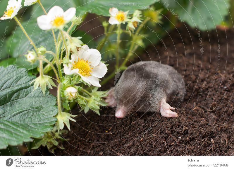 Mole Face House (Residential Structure) Garden Animal Earth Grass Fur coat Small Natural Cute Wild Soft Brown Green Black Dangerous mole Mammal molehill dig
