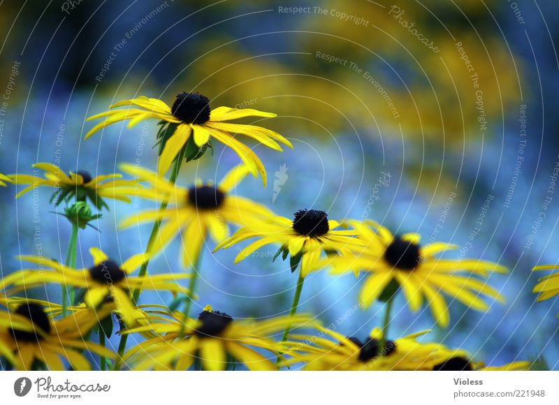 Nature Flower Blue Plant Summer Yellow Blossom Herbaceous plants Blossom leave Spring fever Rudbeckia