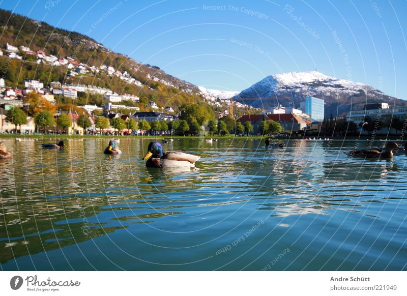 Water Blue Winter Vacation & Travel Animal Mountain Lake Landscape Air Tourism Group of animals Beautiful weather Pond Duck Norway Feeding