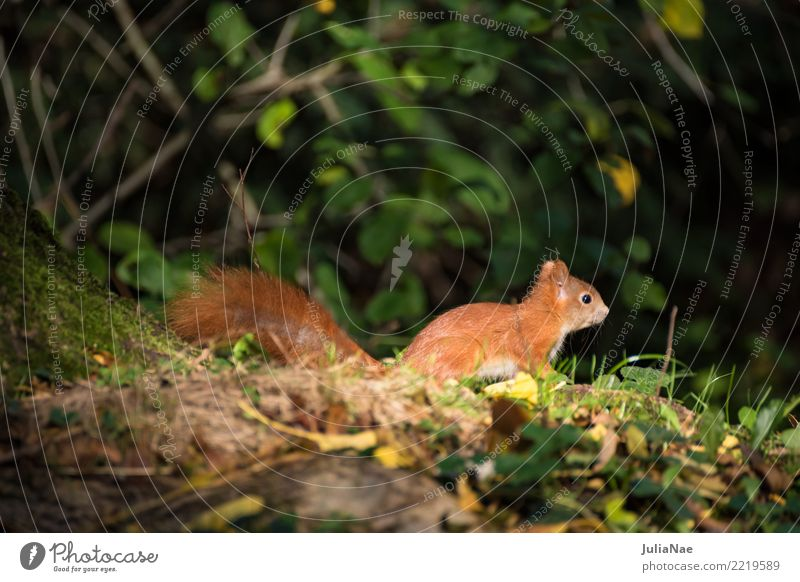 little squirrel in the forest Squirrel Wild animal Sweet Cute Animal Small Tails Rodent Mammal wildlife oak catkin Brown Pelt Autumn Forest Beautiful Nature