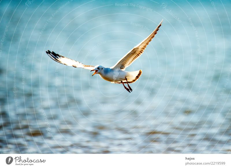 Blue Animal Bird Flying Wild animal Individual Seagull Maritime Black-headed gull