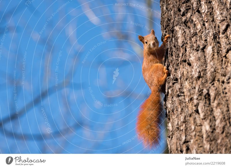 small squirrel on the tree Squirrel Wild animal Sweet Cute Animal Small Tails Rodent Mammal wildlife oak catkin Brown Pelt Beautiful Nature Natural Ear fur Paw