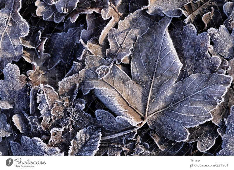 frozen leaves lying on the ground Nature Autumn Winter Ice Frost Leaf Cold Hoar frost Frozen ossified Autumn leaves Oak leaf Winter's day Pattern Rachis