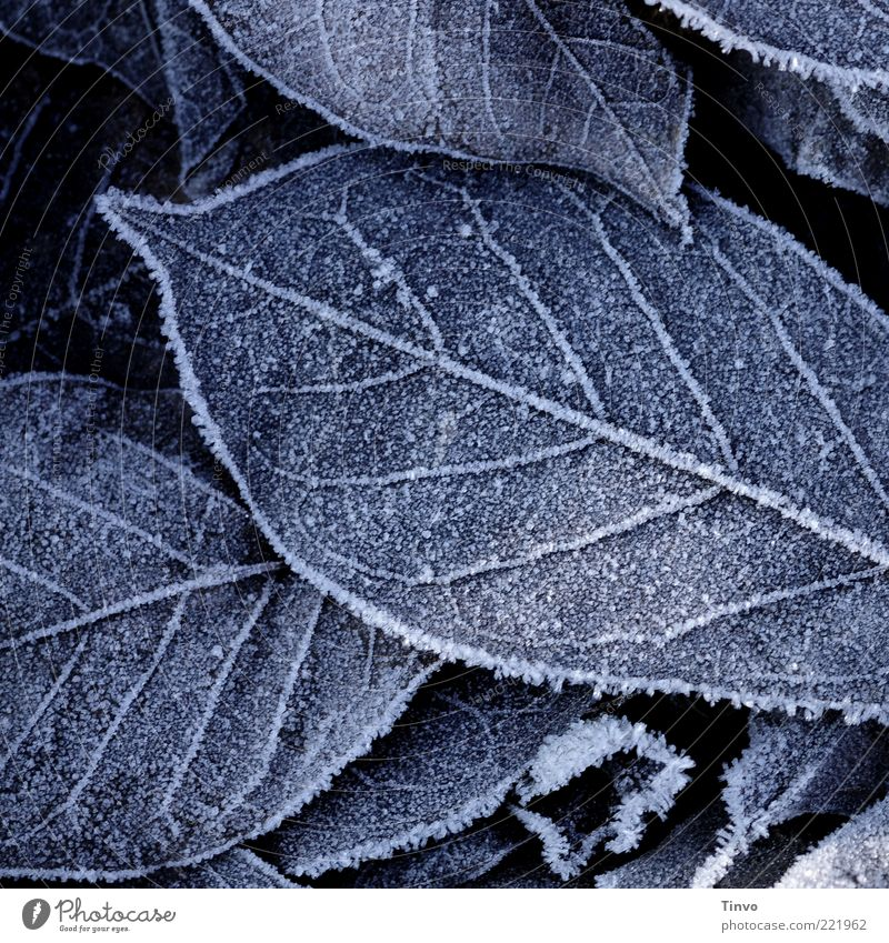Frostbitten II Nature Autumn Winter Ice Leaf Cold Autumn leaves Frozen Hoar frost Rachis Winter's day Colour photo Subdued colour Exterior shot Close-up Pattern