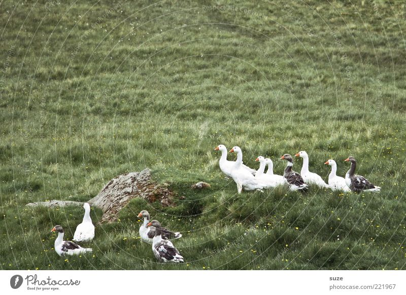 Nature Green Animal Environment Meadow Small Bird Wild animal Free Group of animals Curiosity Goose Country life Wild goose