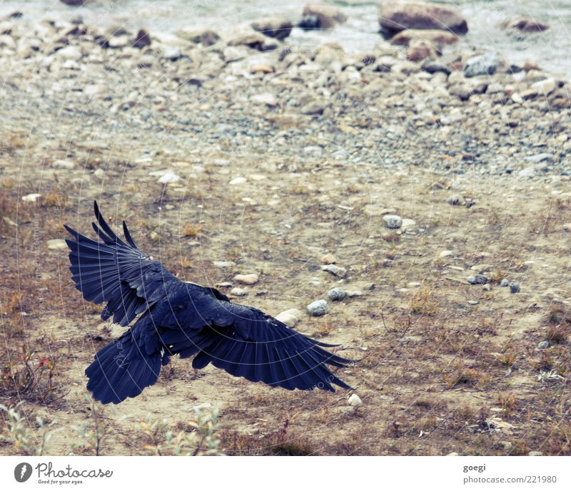 touch down Nature Animal Earth Water Wild animal Raven birds Common Raven Crow 1 Flying Blue Brown Gray Black Power Ground Wing Feather Wisdom Smart