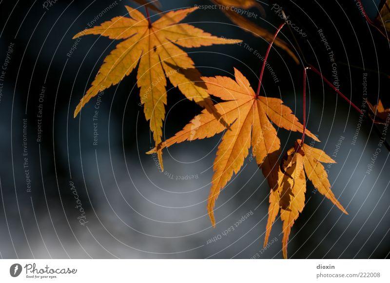 November light Environment Nature Plant Sunlight Autumn Beautiful weather Tree Leaf Illuminate Brown Yellow Gold Colour photo Exterior shot Light Contrast