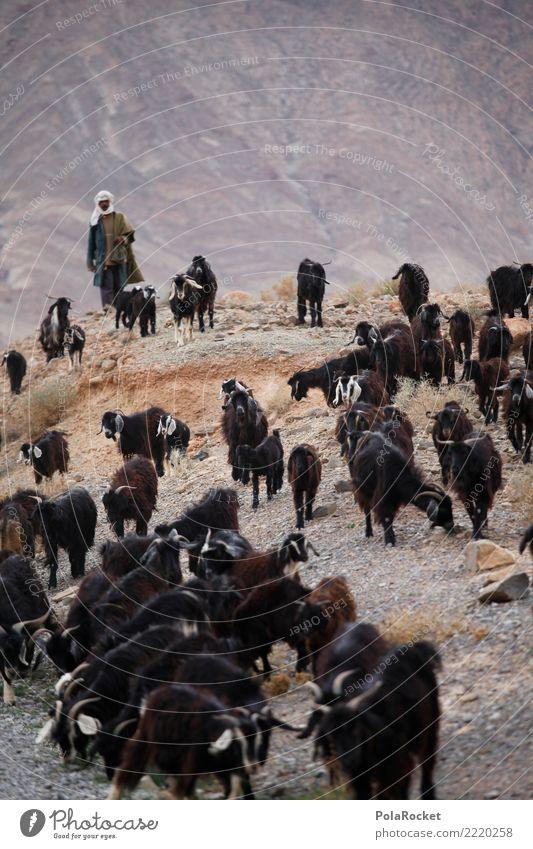 #A# Look at the herd Art Work of art Environment Esthetic Goats He-goat Goatskin Goat`s cheese Goatherd Goat herd Herd Morocco Colour photo Subdued colour