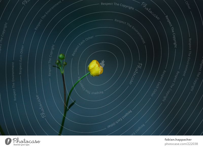 Lonely in the dark Nature Plant Spring Summer Blossom Foliage plant Wild plant Blossoming Faded Growth Esthetic Fragrance Blue Yellow Green Flower Colour photo