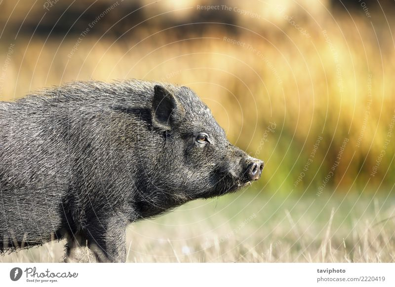 closeup of vietnamese black pig Environment Nature Animal Pet Dirty Free Small Funny Natural Cute Black Pork Pigs Farm Mammal Rural Vietnamese Agriculture fat