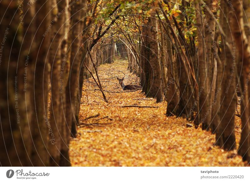deer doe in autumn forest Beautiful Hunting Woman Adults Nature Landscape Animal Autumn Tree Forest Faded Natural Wild Brown Loneliness Deer Fallow land Mammal