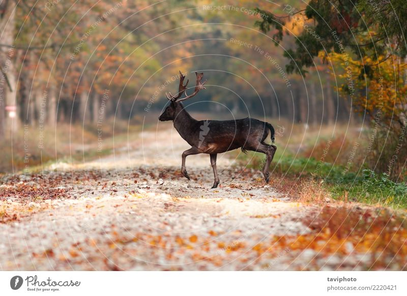 deer stag in the woods Beautiful Playing Hunting Man Adults Nature Landscape Animal Autumn Leaf Forest Street Fur coat Faded Large Natural Wild Brown Yellow