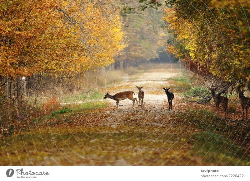 deers on rural road Beautiful Hunting Woman Adults Nature Landscape Animal Autumn Park Forest Street Lanes & trails Fur coat Herd Faded Natural Wild Brown