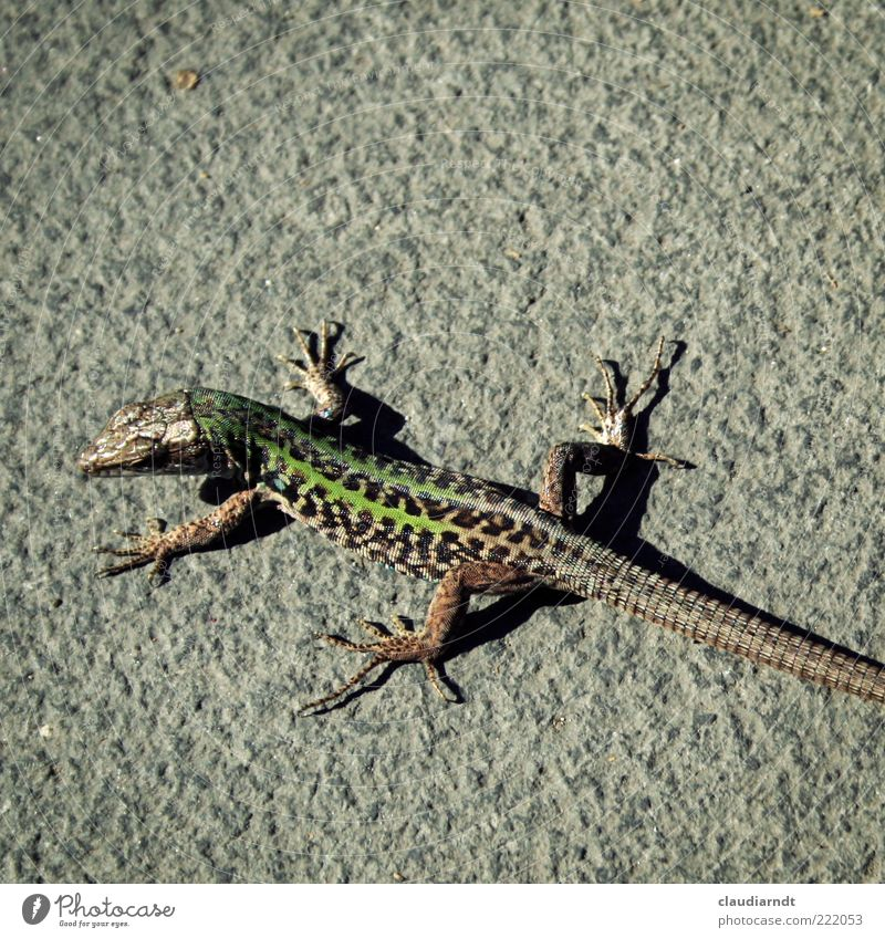 *.exe Animal Wild animal Scales Lizards Reptiles 1 Observe Saurians Pattern Concrete Sunbathing Tails Animal foot Green Colour photo Detail Copy Space top